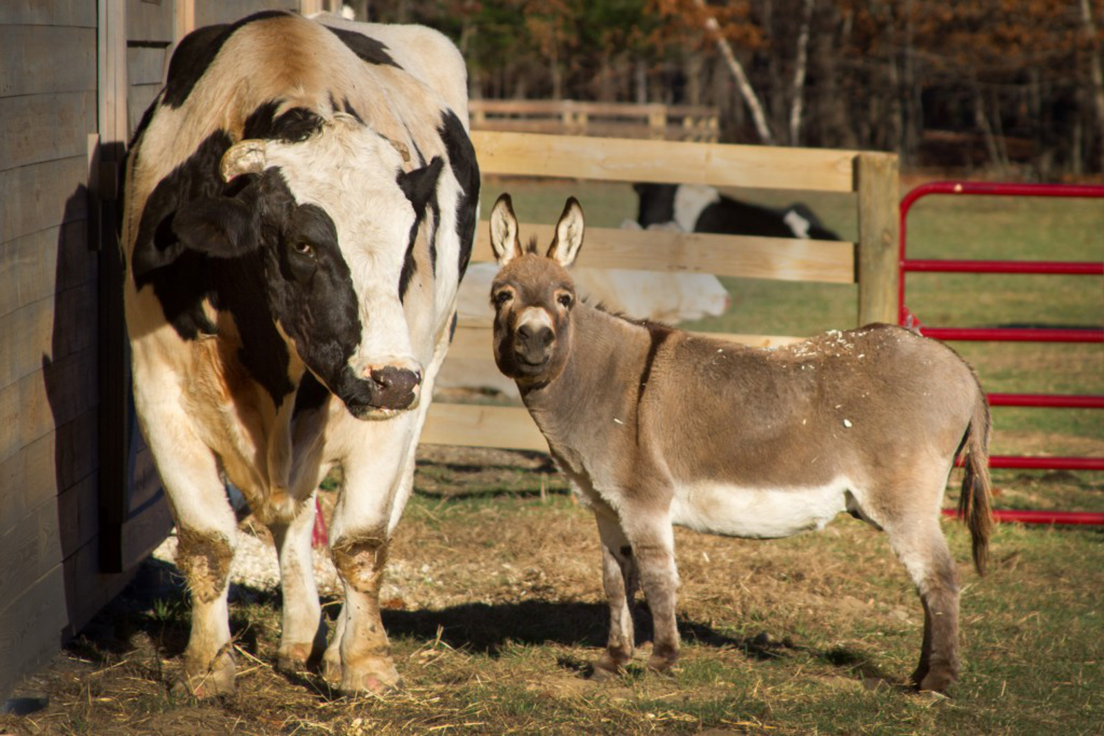Cow and Donkey That Survived Deplorable Petting Zoo Now BFFs in New Home