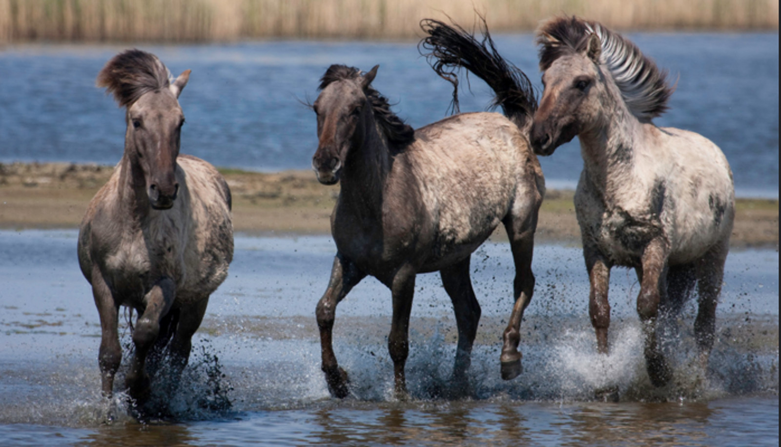 Wild Horses Under Attack By U.S. Bureau of Land Management and How You Can Help