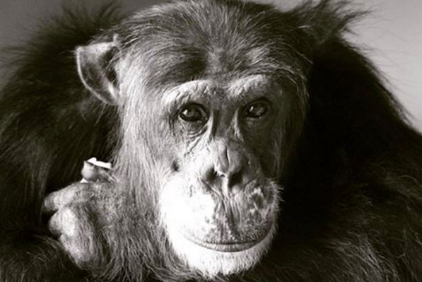 How Chimpanzees Can Teach Us All to Be More Human