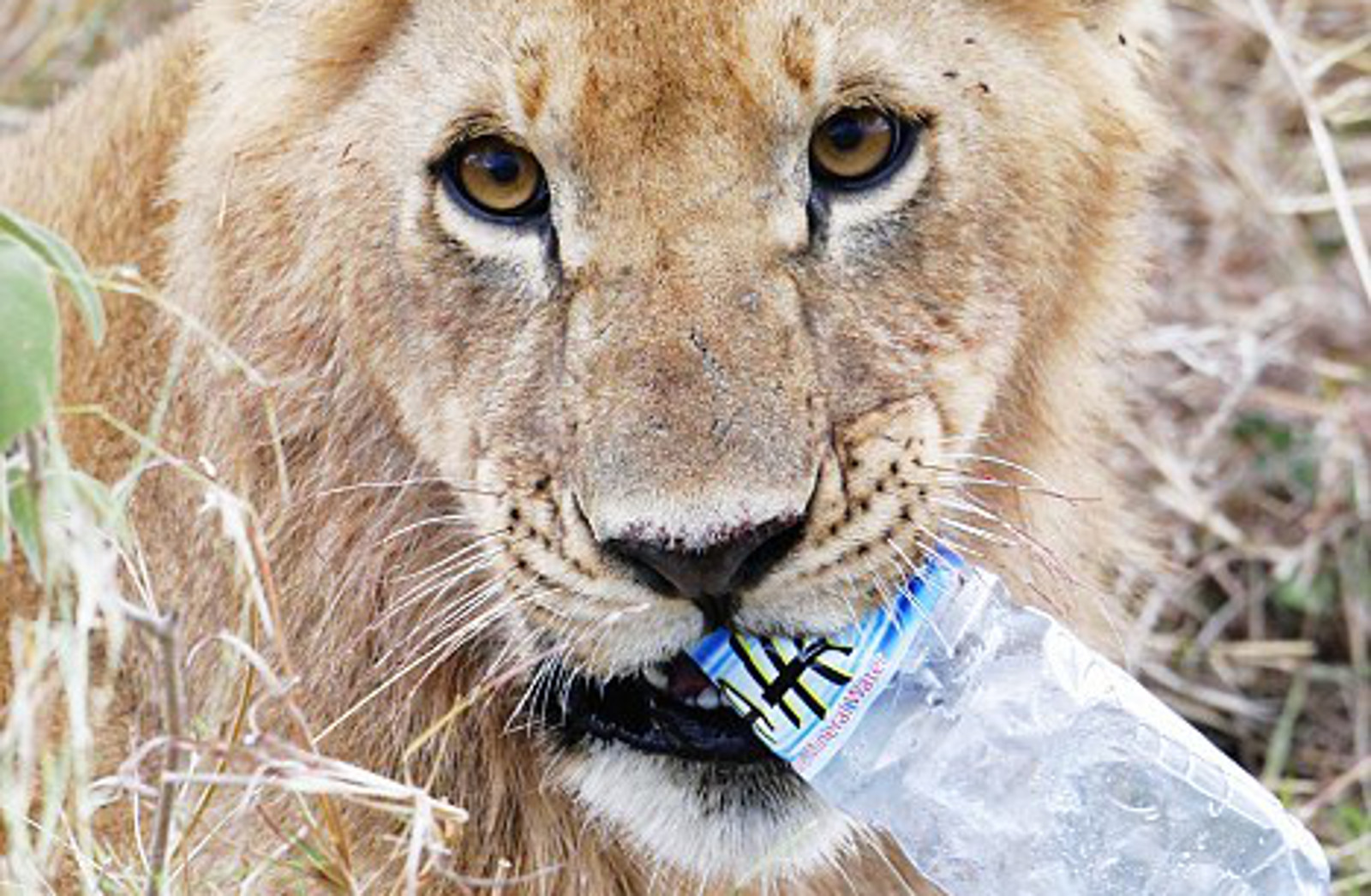 Photo of Young Lion With Plastic Bottle in His Mouth Tells a Sad Story