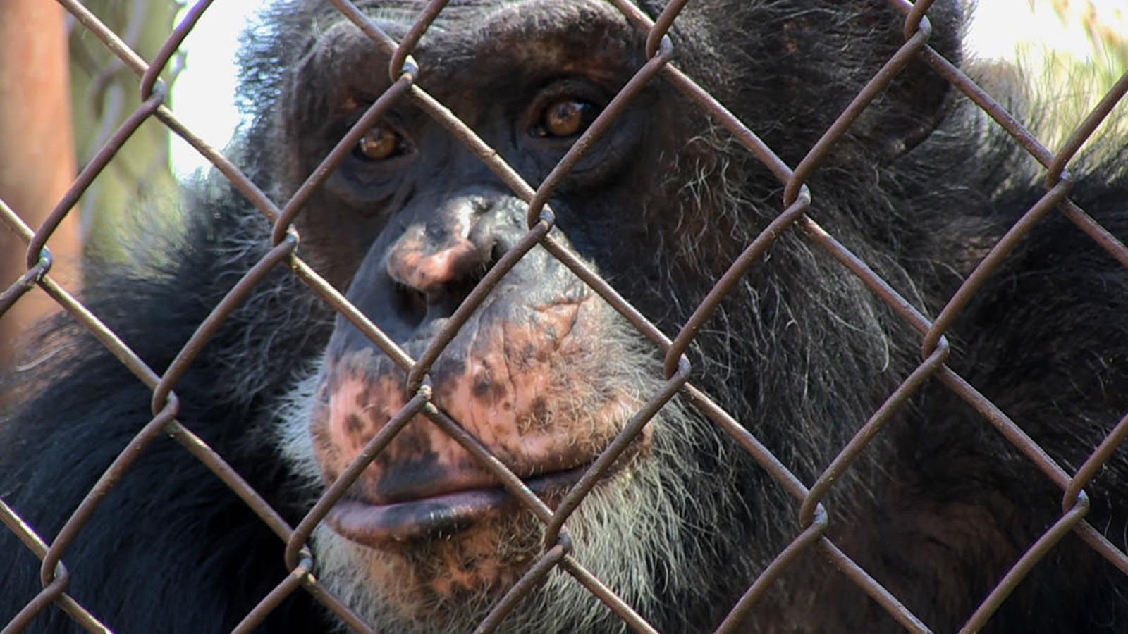 New Film 'Unlocking the Cage' Premiers at Sundance and Marks Major Step Forward for Animal Rights