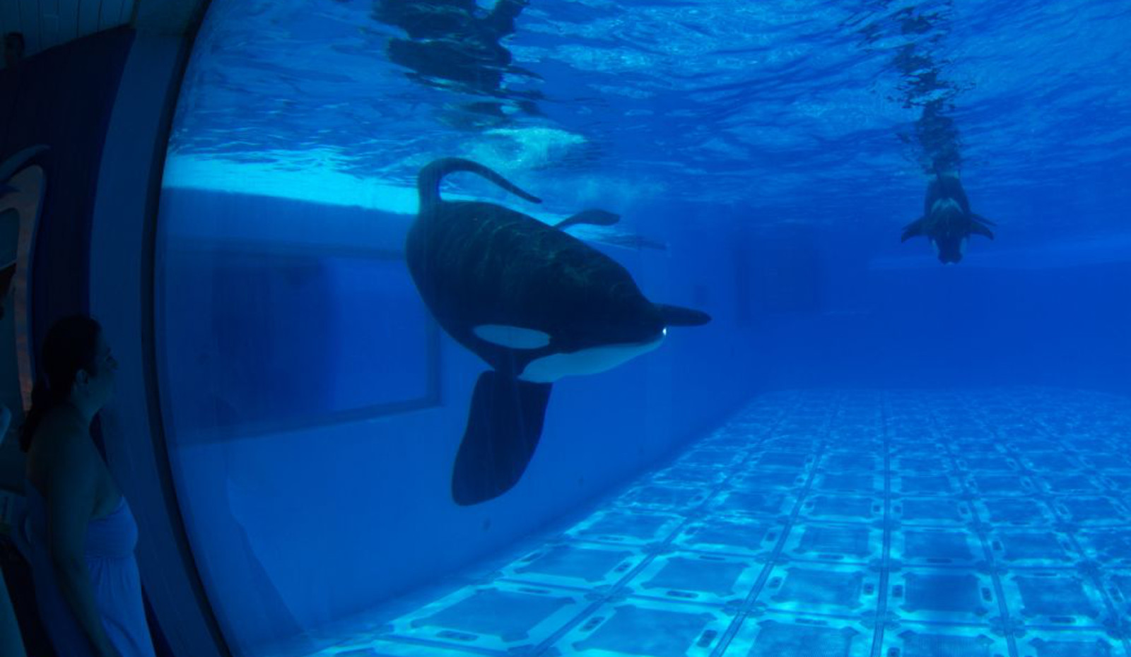 Is Superstar Orca 'Tilikum' Infected With A Superbug?