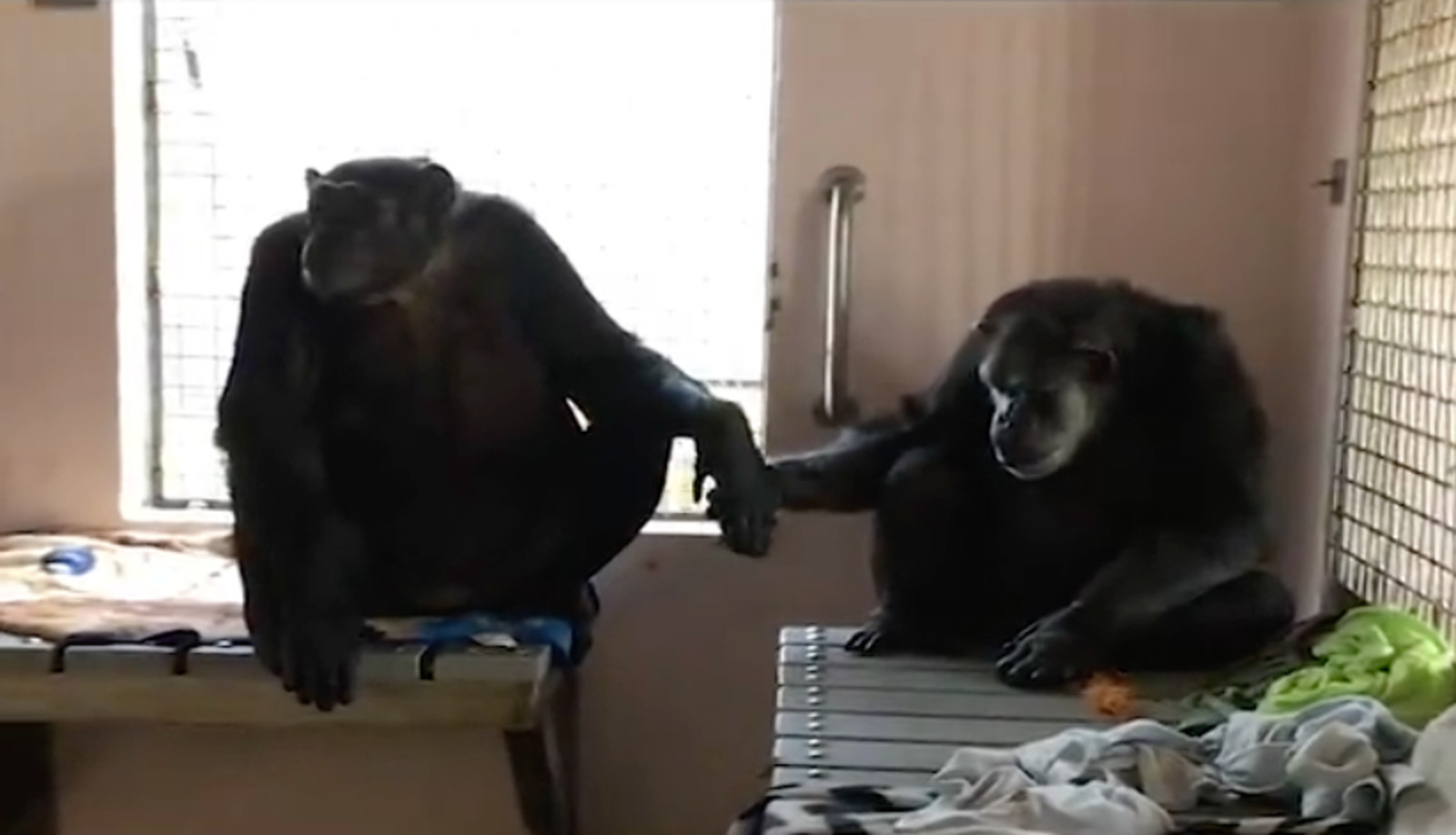 From Heartache to Heartwarming Friendship: The Story Behind the Adorable Handholding Chimps