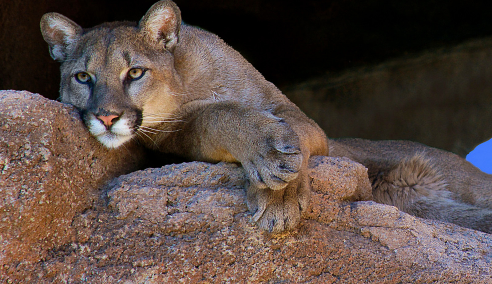 Are We Saying Farewell to America's Mountain Lion? Five Worst States For the Cougar