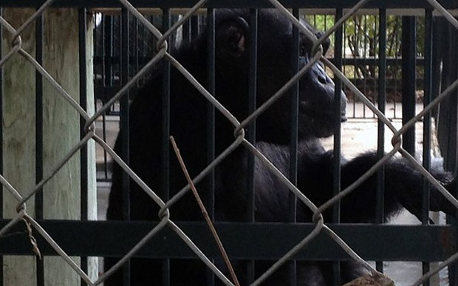 The listing of captive chimpanzees as endangered created legal grounds for ALDF to file suit on Candy's behalf.