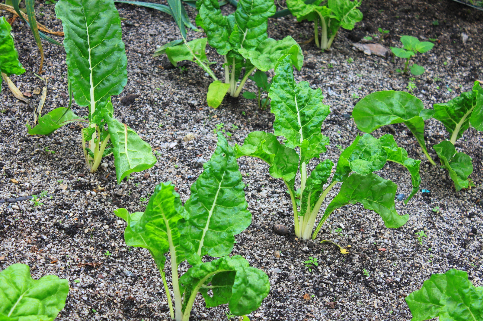 lettuce which can be used in compost