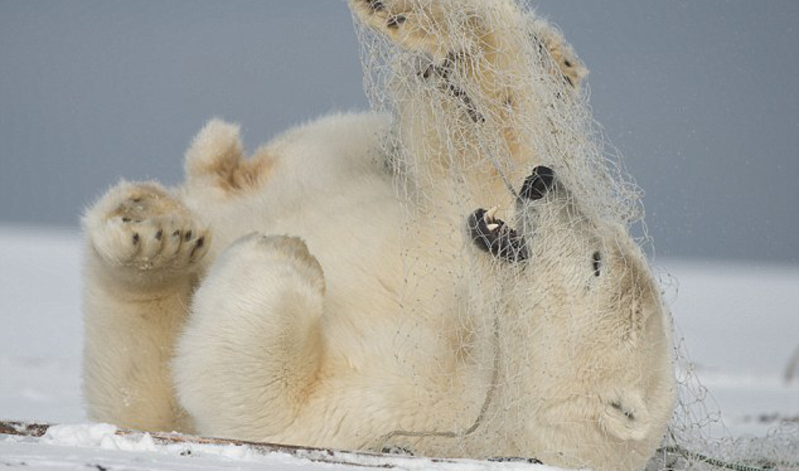 Polar Bear Struggling in Plastic Net Shows Where Our Discarded Trash Really Ends Up