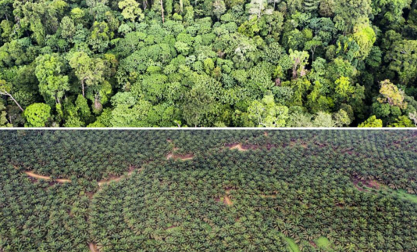 Tragic Photos Illustrate the Difference Between a Man-Made Forest and a Natural One – and Why the Former is Threatening the Future of the Latter