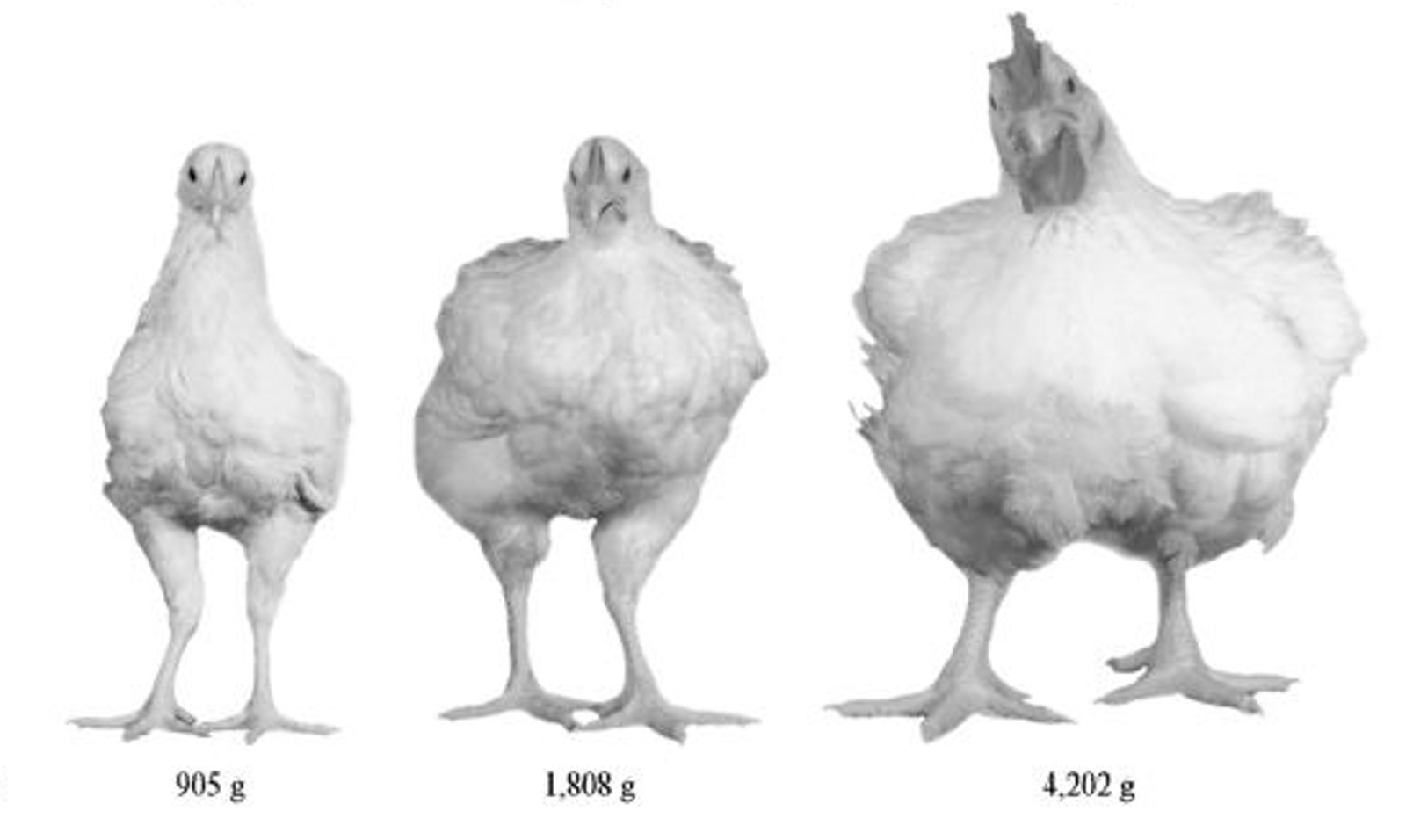Modern Chickens Have Doubled in Size in the Last Sixty Years – Here's How You Can Stop This