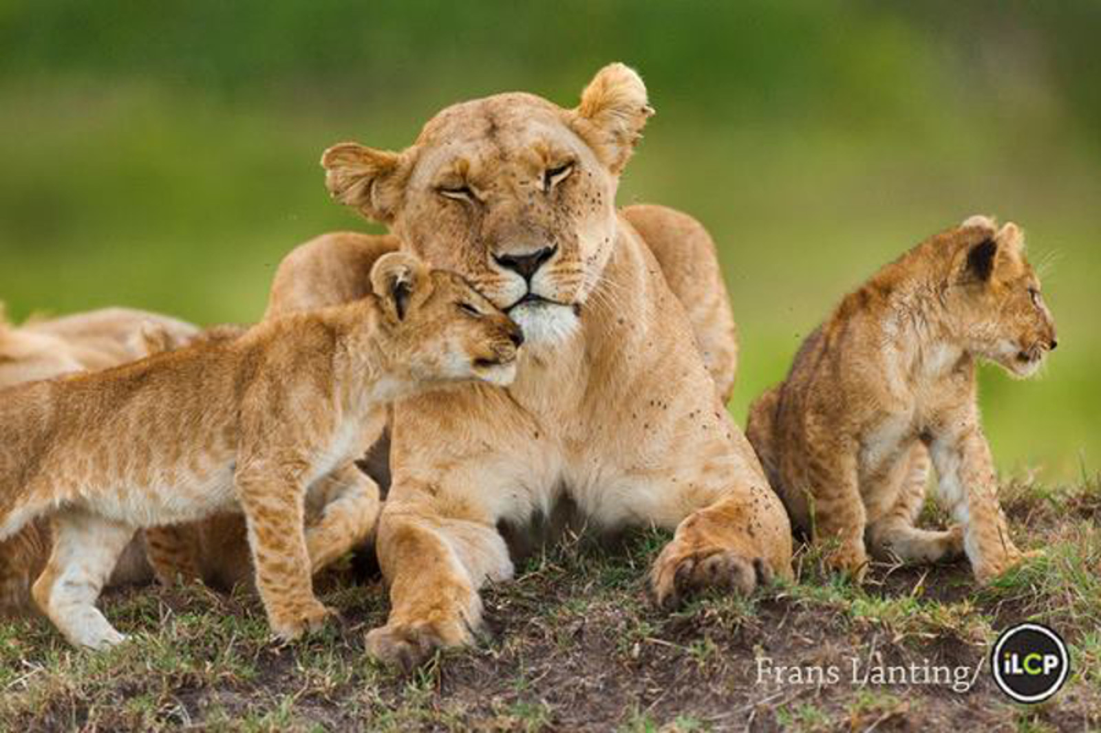 This is How Baby Cubs Should be Allowed to Bond With Their Mothers – Not Used as Selfie Props