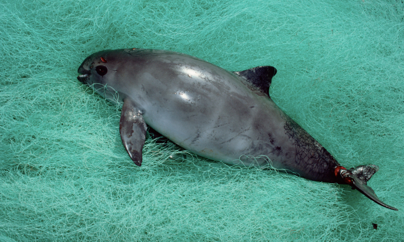 Why the Survival of the World's Last 60 Vaquitas is Tied to Our Own