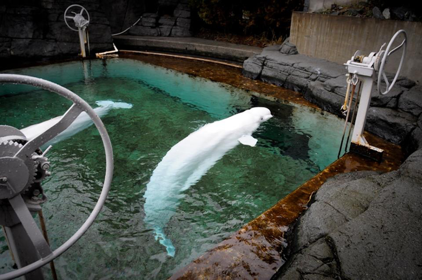 Heartbreaking Picture of Beluga Whales in Rusting Tank Displays Exactly What's Wrong With Whale Captivity