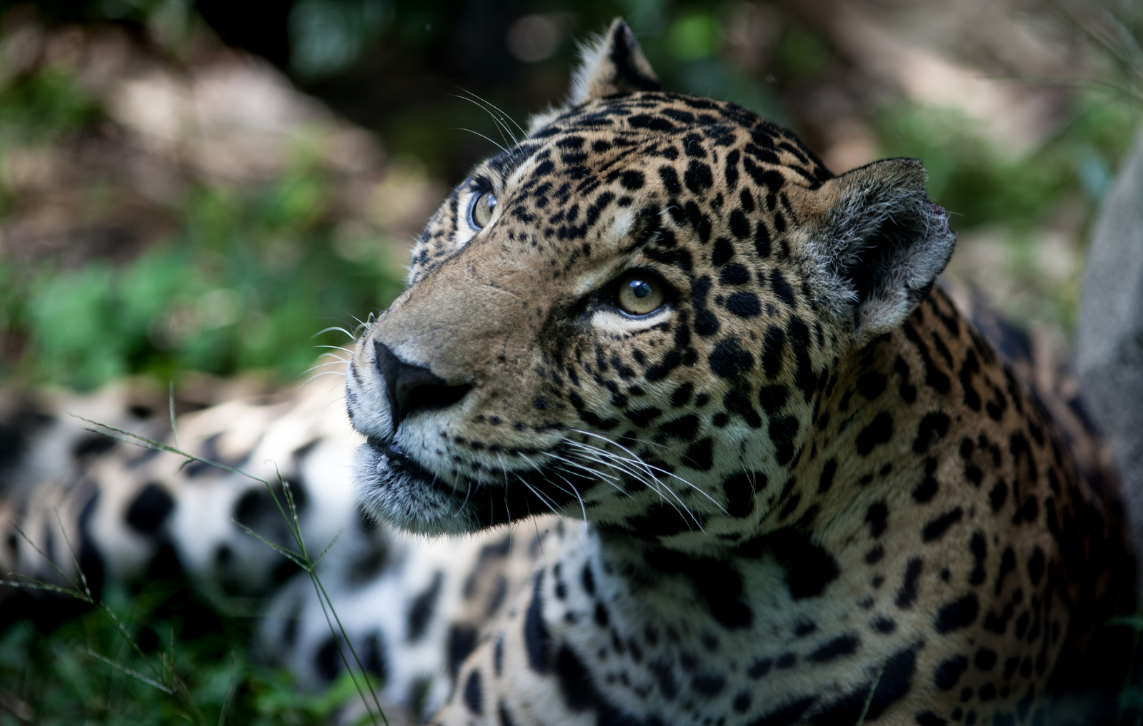 How We're Using Camera Traps to Protect Endangered Jaguars in the Amazon