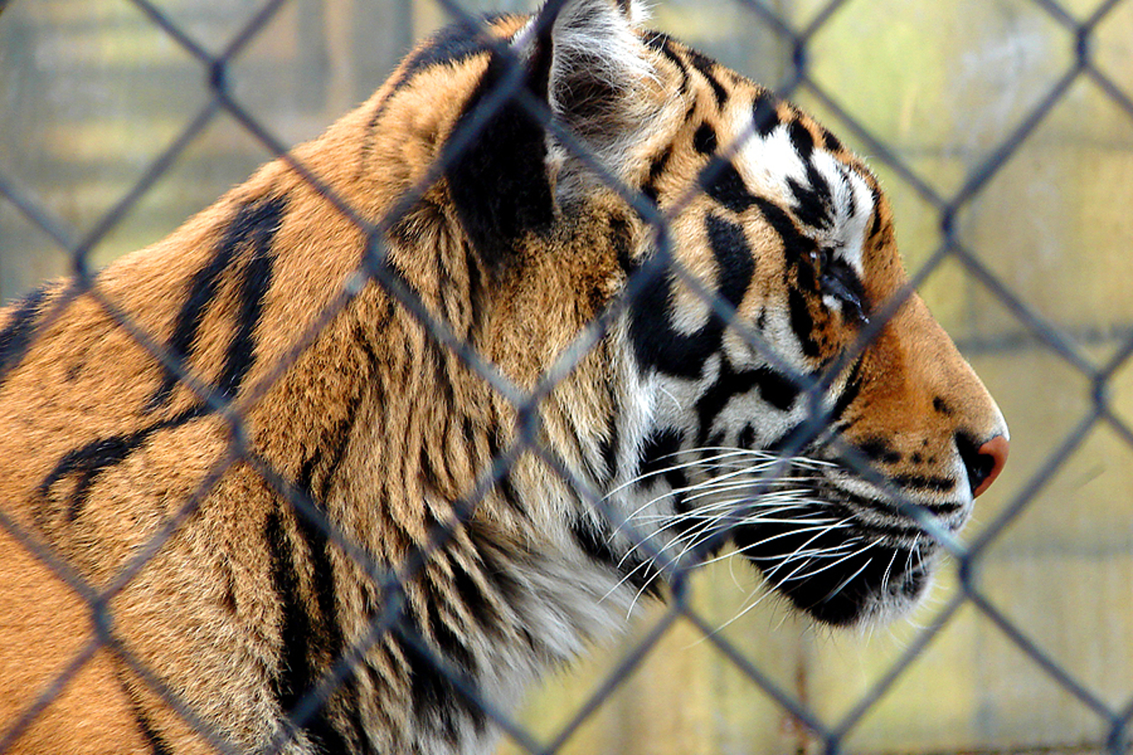 What Tiger Temple Can Teach us About the Status of Captive Big Cats in the U.S.