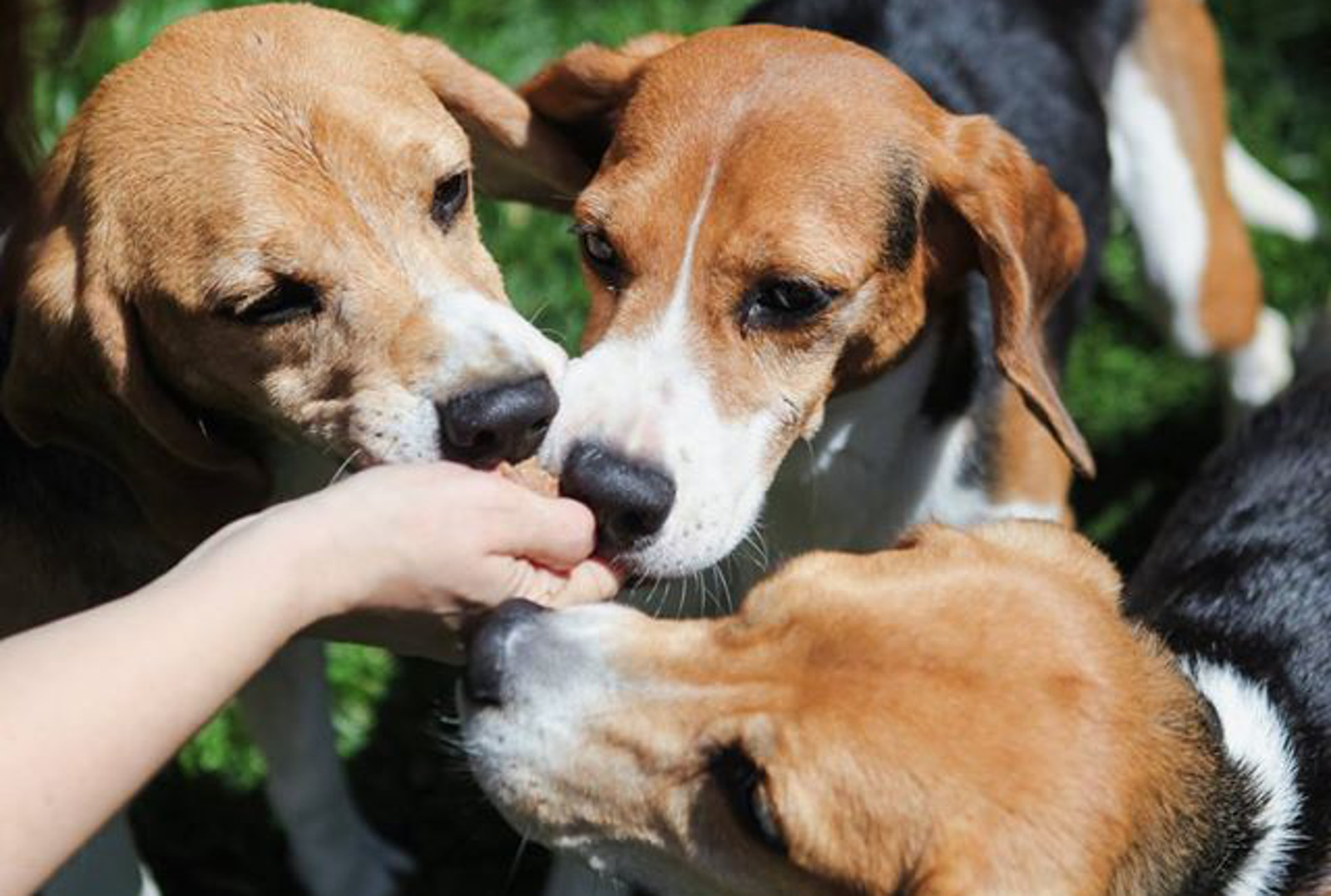 Beautiful Photo Captures the Moment Former Lab Beagles Taste Treats for the Very First Time!
