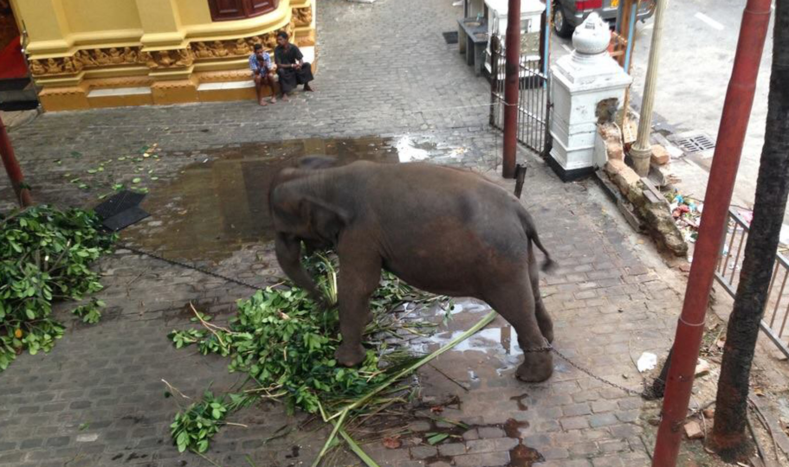 Illegally-Captured Elephants Caught Crosshairs of a Criminal Network, Disguised as Culture and Religion