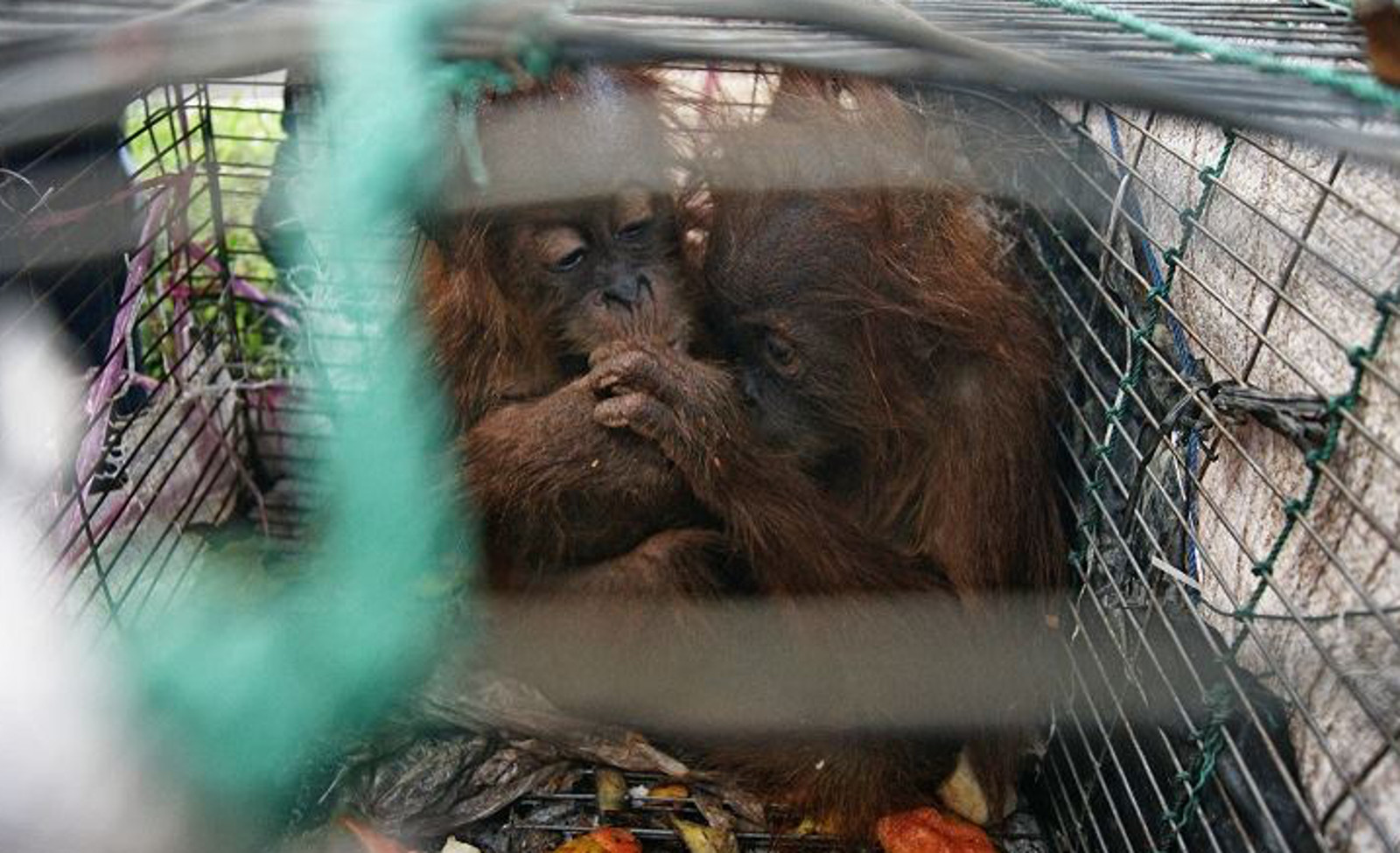 Why This Photo of Baby Orangutans in a Cage Will Break Your Heart but Give You Hope