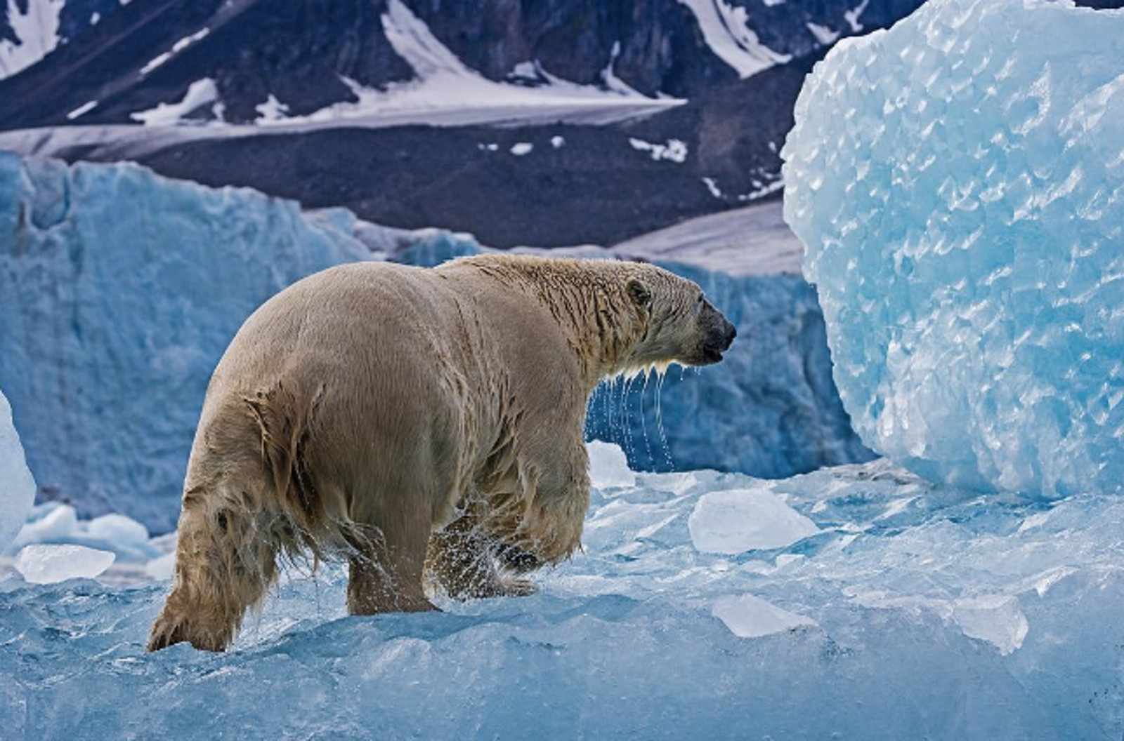 99% of Glaciers are Receding and Stranding Animals – How We Can Stop This With One Choice
