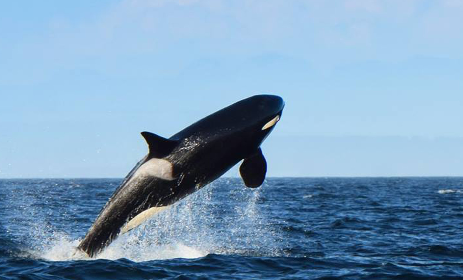 105 Year Old Orca is Still Jumping for Joy in the Wild – Proof a Tank is Not the Key to a Long Life