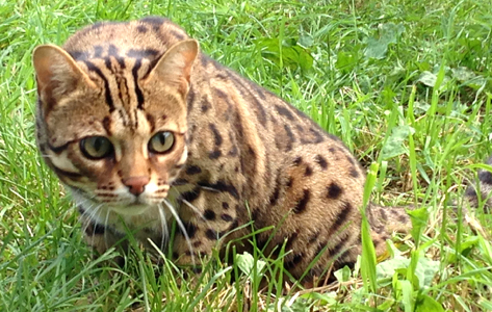 So You Think You Want a Bengal Cat Like Thor? Think Again!