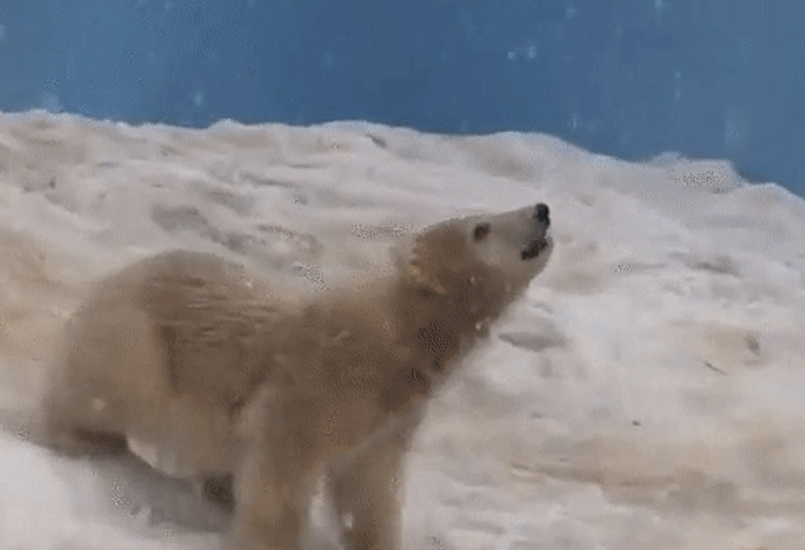 Baby Polar Bear Catching Snowflakes Goes From Cute to Disturbing Thanks to One Fact