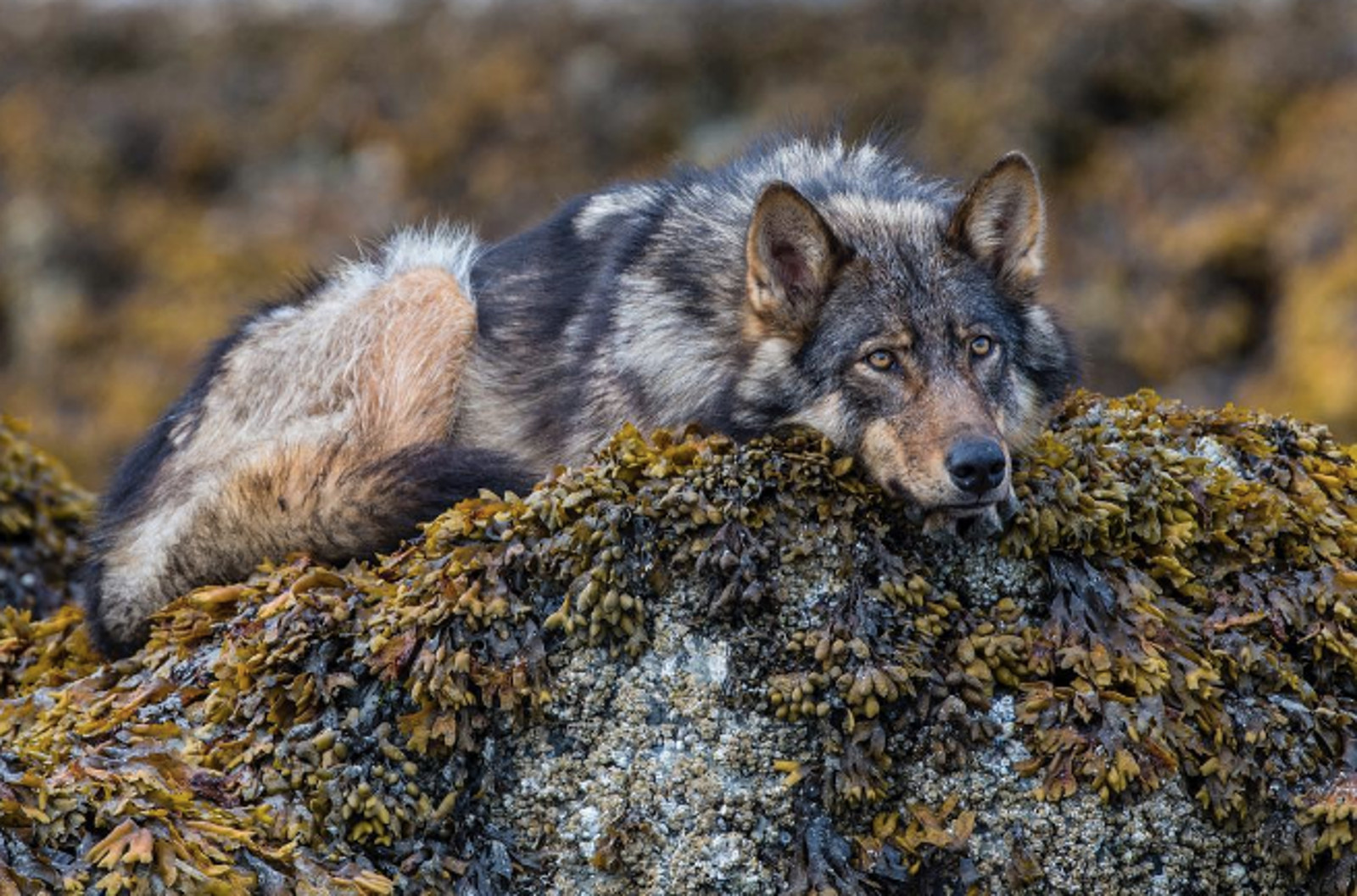 This Unique 'Sea Wolf' Population is in Danger of Extinction Thanks to Tourism and Hunting – What We Can Do to Save Them