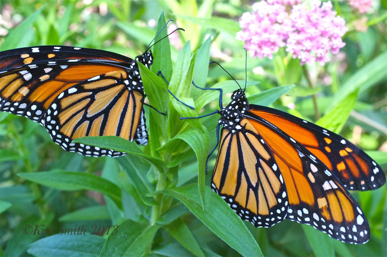 The population of migrating monarch butterflies is in danger. What we can do to help