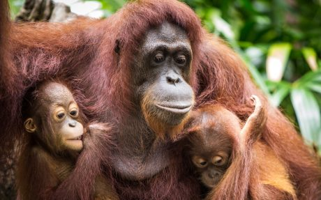Wake Up! Orangutans Could be Completely Extinct in 10 Years Because of Our Snacks