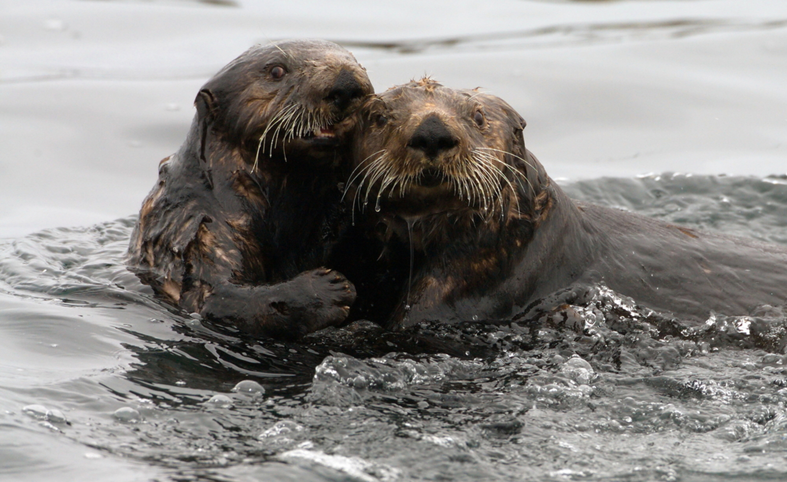 Our Love for Seafood is Killing Sea Otters – Here's What We Can do to Stop This