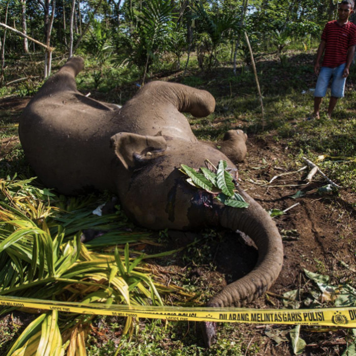 Tragic Photo Shows Us What Elephants Stand to Lose Because of Our Love for Cheap Snacks