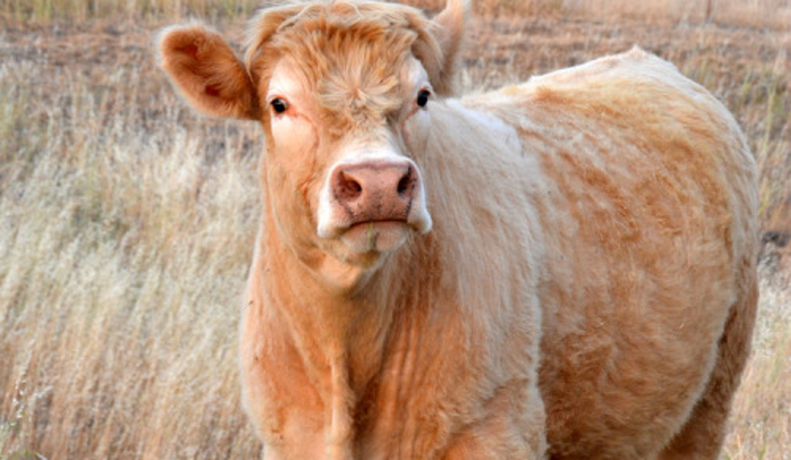 Meet Stefan the Cow Who Was Saved From a 4-H Program Thanks to a Kind Teenage Girl