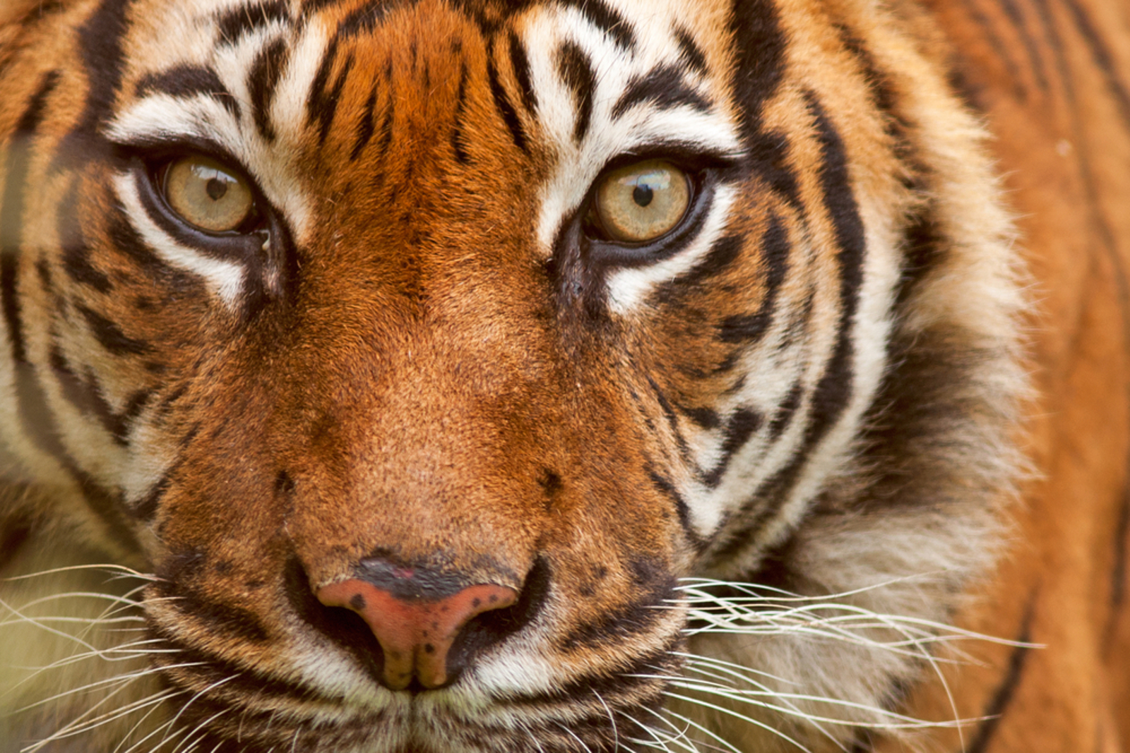 Poachers Are Killing Tigers to Sell Them for Their Bones. How We're Working to Stop This