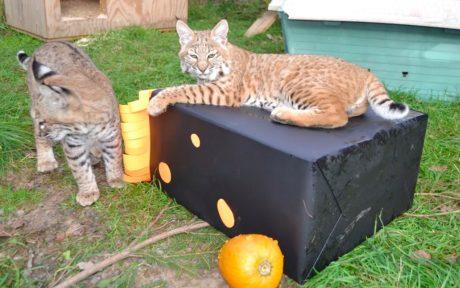 Bobcat Kittens Get Wild at Their First Halloween Party (VIDEO)