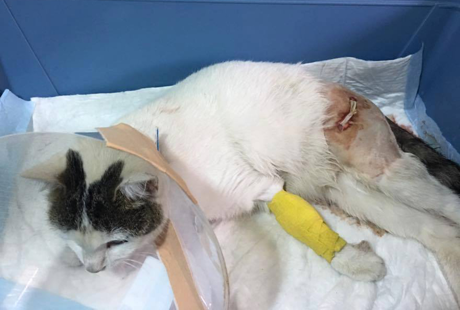 Urgent Help Needed to Save Hungry Homeless Cat Who Was Attacked by 4 Dogs