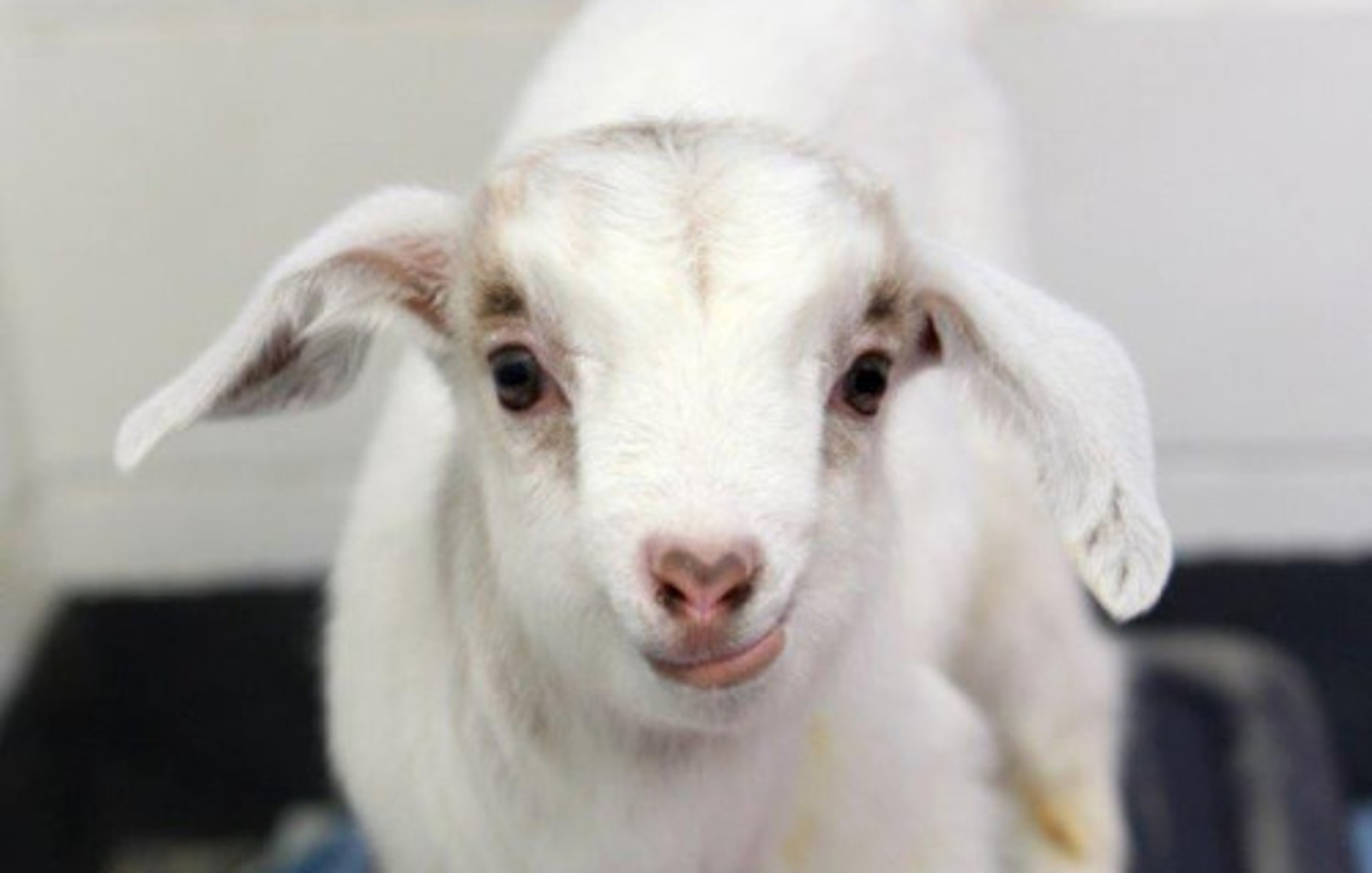 From Frat House Mascot to Thriving at a Sanctuary: The Journey of Maxie the Goat