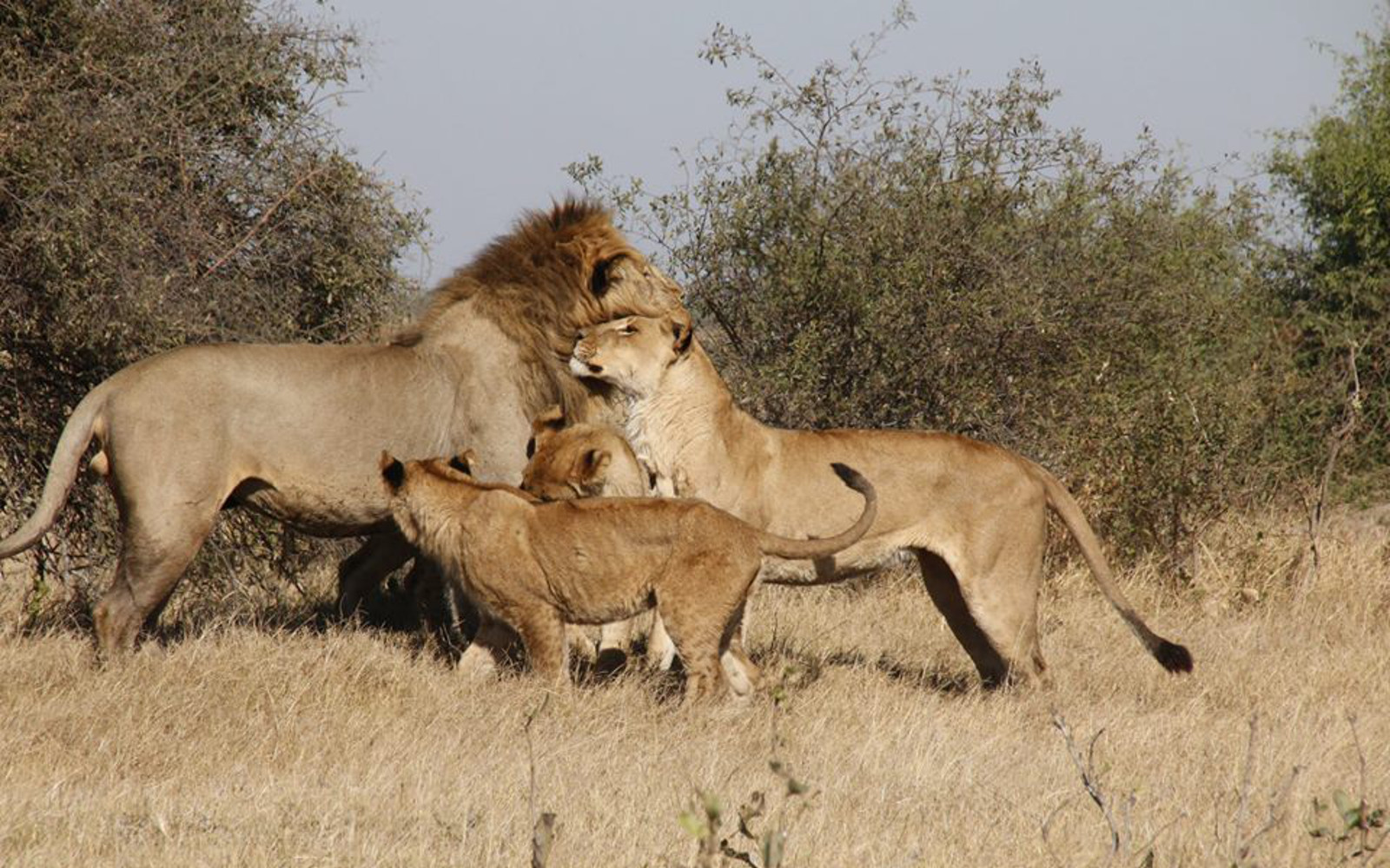Photo of Lions Greeting Each Other After a Patrol Shows How These Animals Deserve to Live