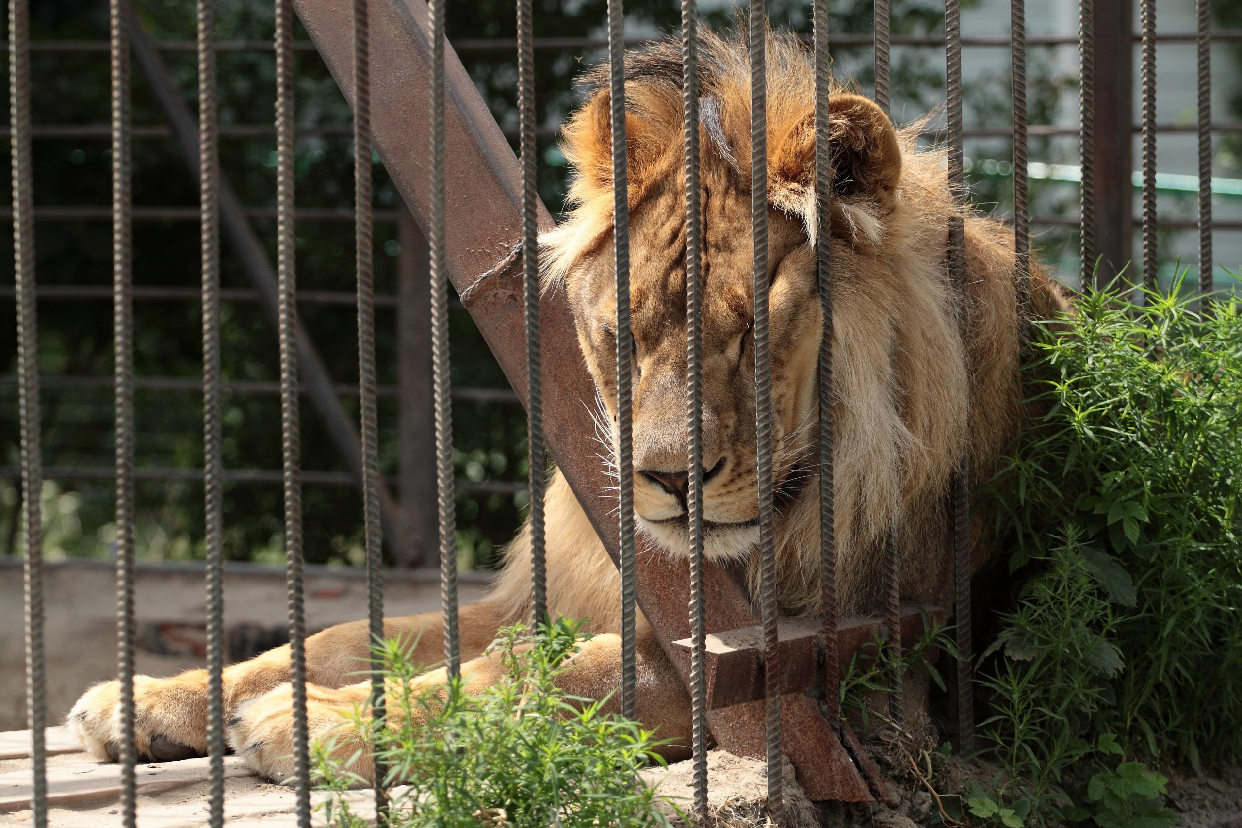 lion in cage at zoo