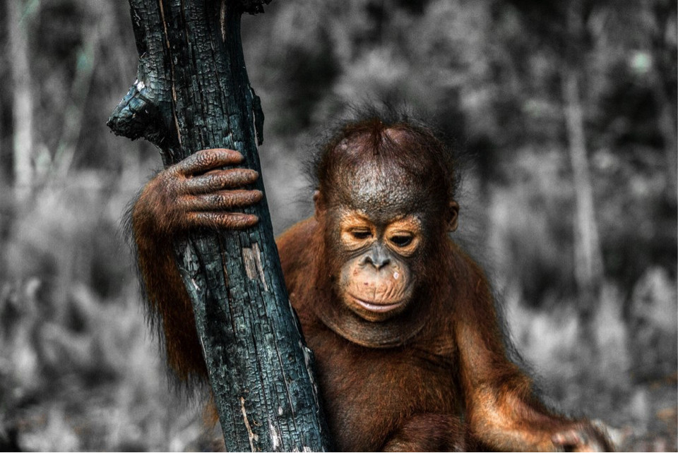 Heartbreaking Photo of Baby Orangutan in Scorched Remains of Their Home Shows Why We Need to Rethink Our Snacks