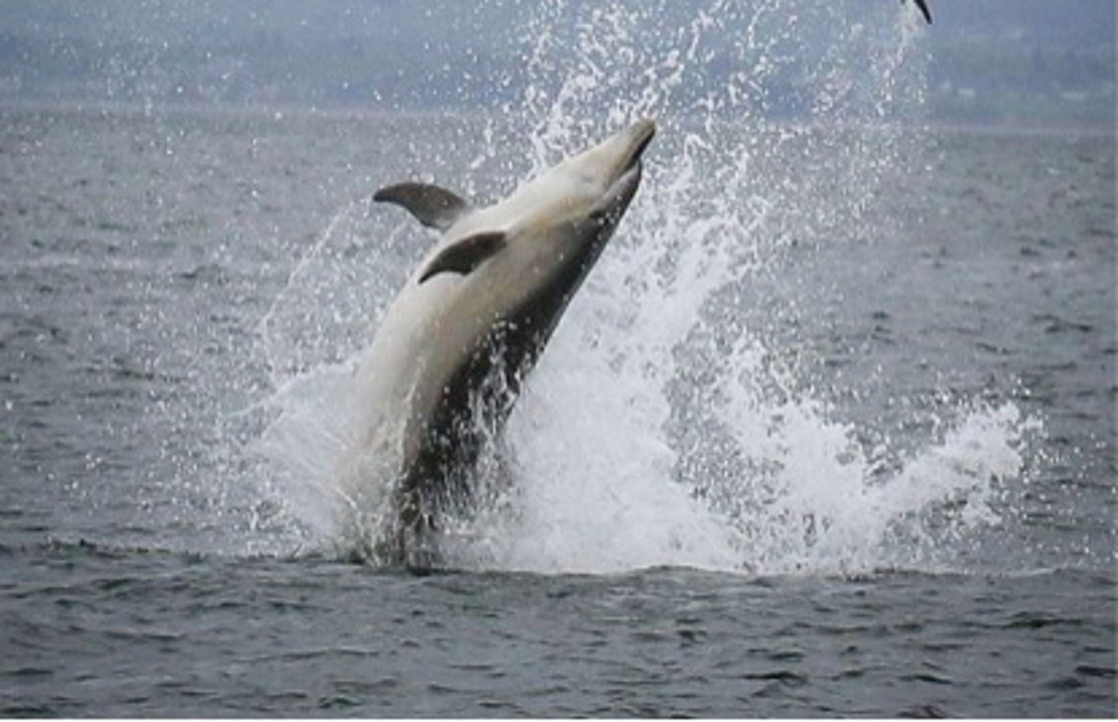 Help Protect Dolphins in Scotland From Oil Interests!