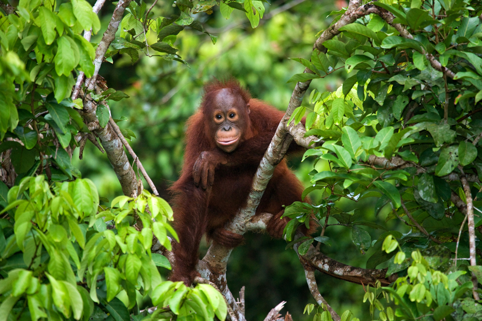 What the Threat of Palm Oil Expansion Means for Endangered Orangutans and Elephants