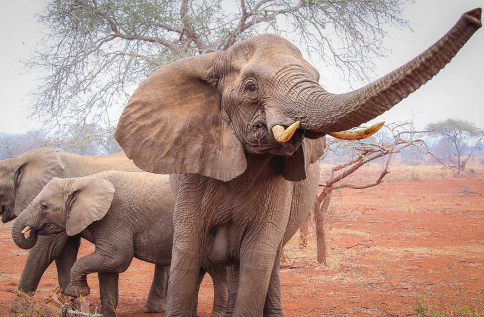 Finally Some Good News for Elephants! China to Ban Ivory Trade by 2017