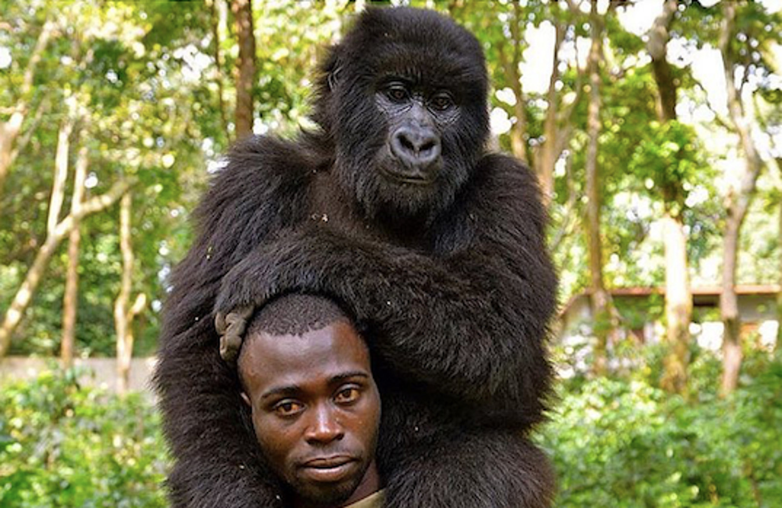 This Image of an Endangered Mountain Gorilla With a Brave Man Who is Devoted to Protecting Him Will Touch Your Heart