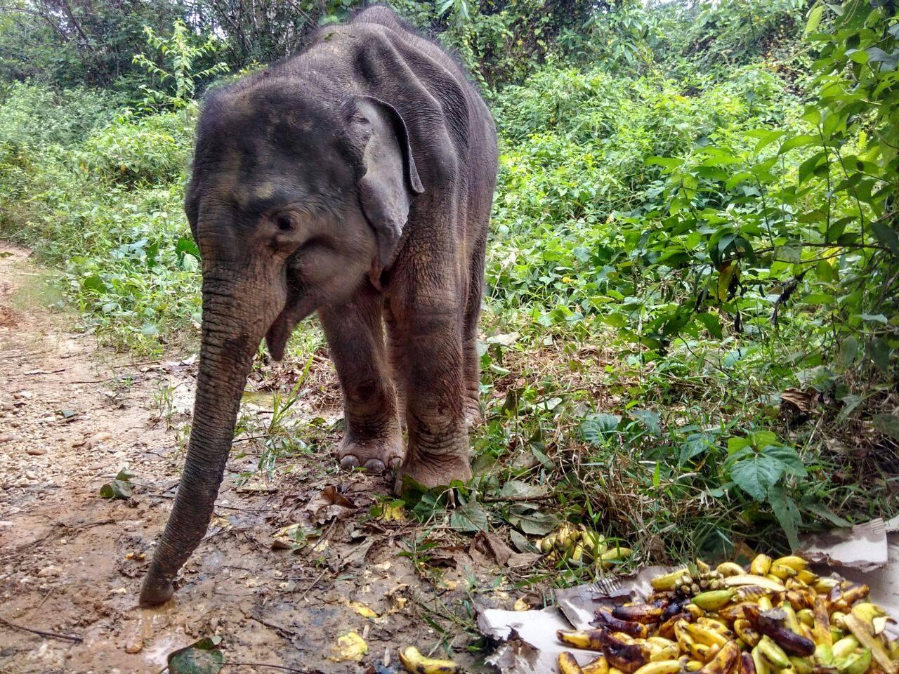 emaciated elephant