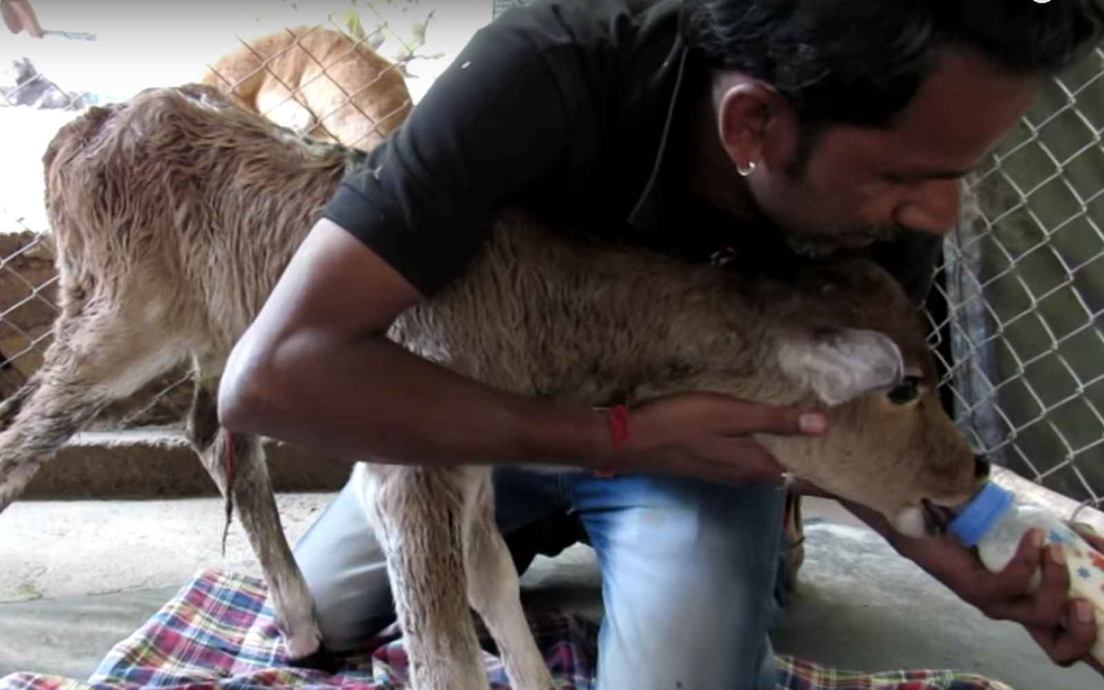 Calf Who Was Abandoned and Left to Die by a Dairy Farmer Gets His First Taste of Milk Thanks to Rescuers (VIDEO)