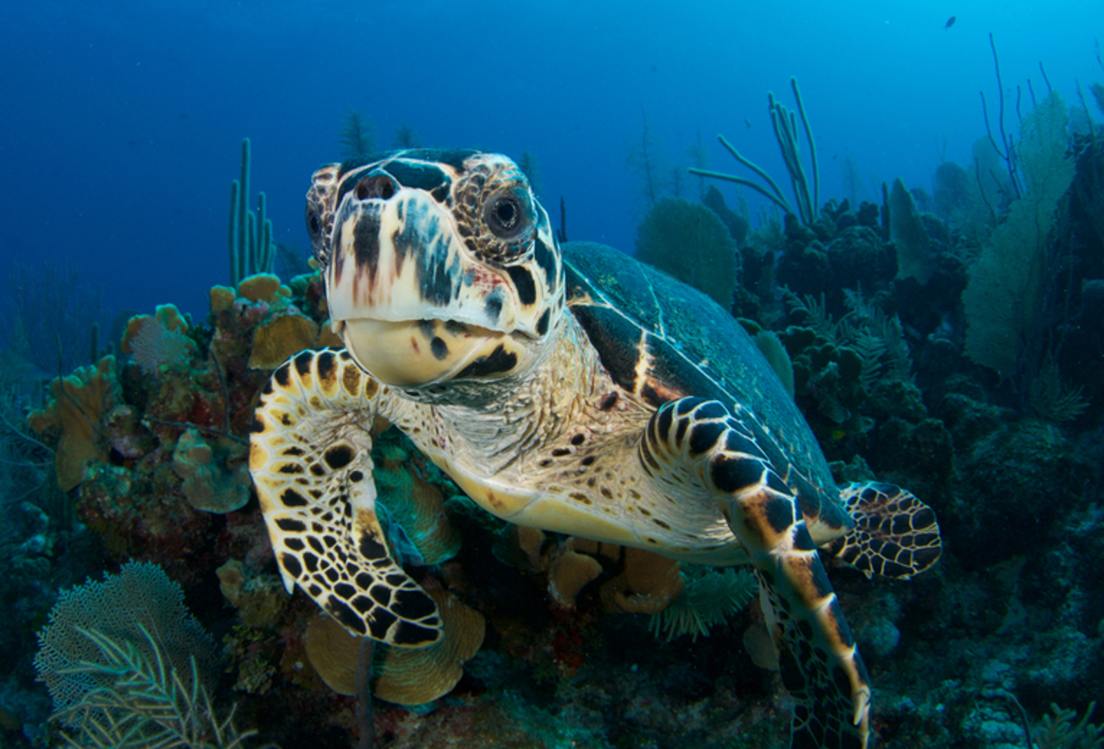 Time is Running Out for the Hawksbill Turtle –But We Can All Help Save Them From Extinction