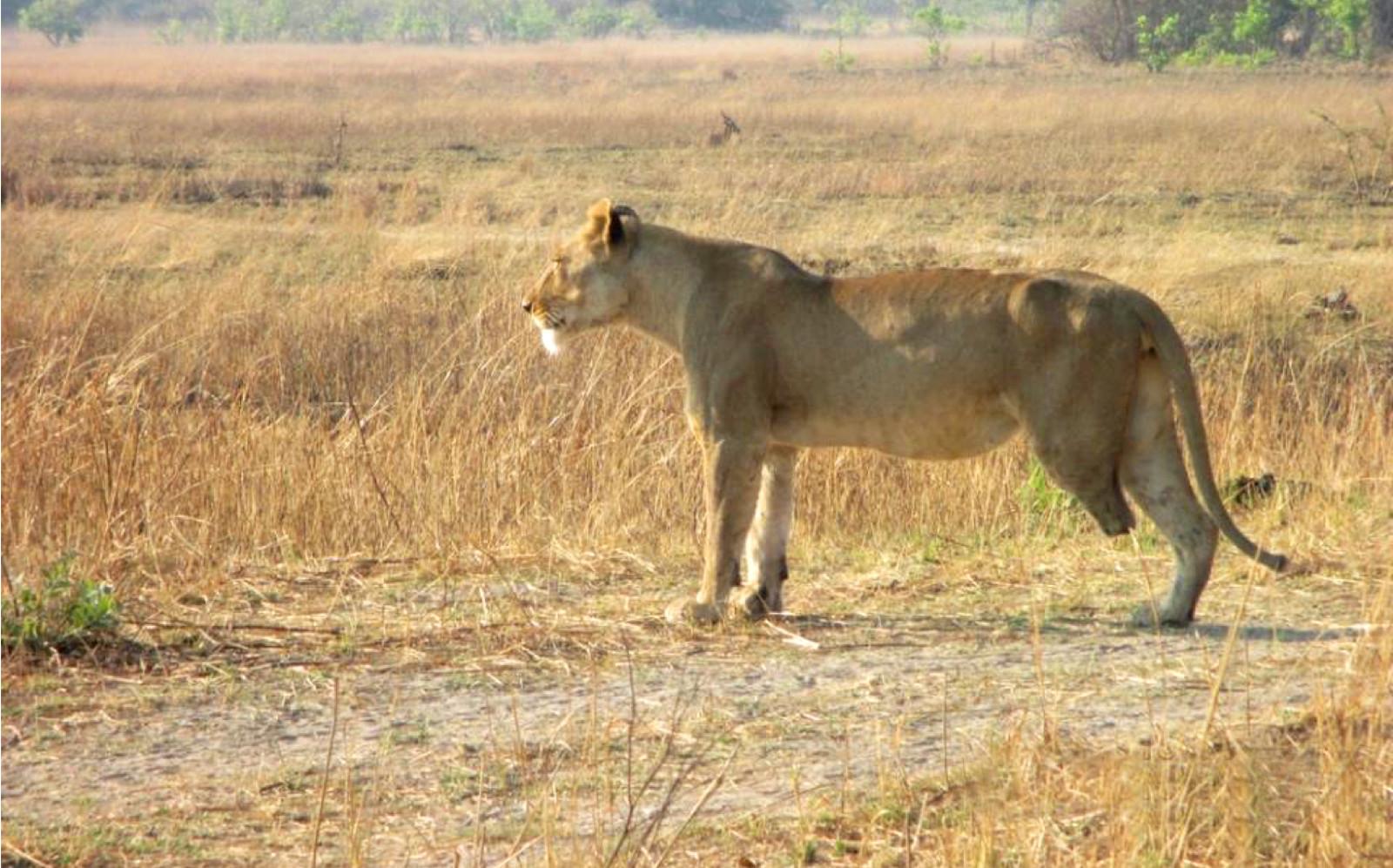 A Lioness Survivor