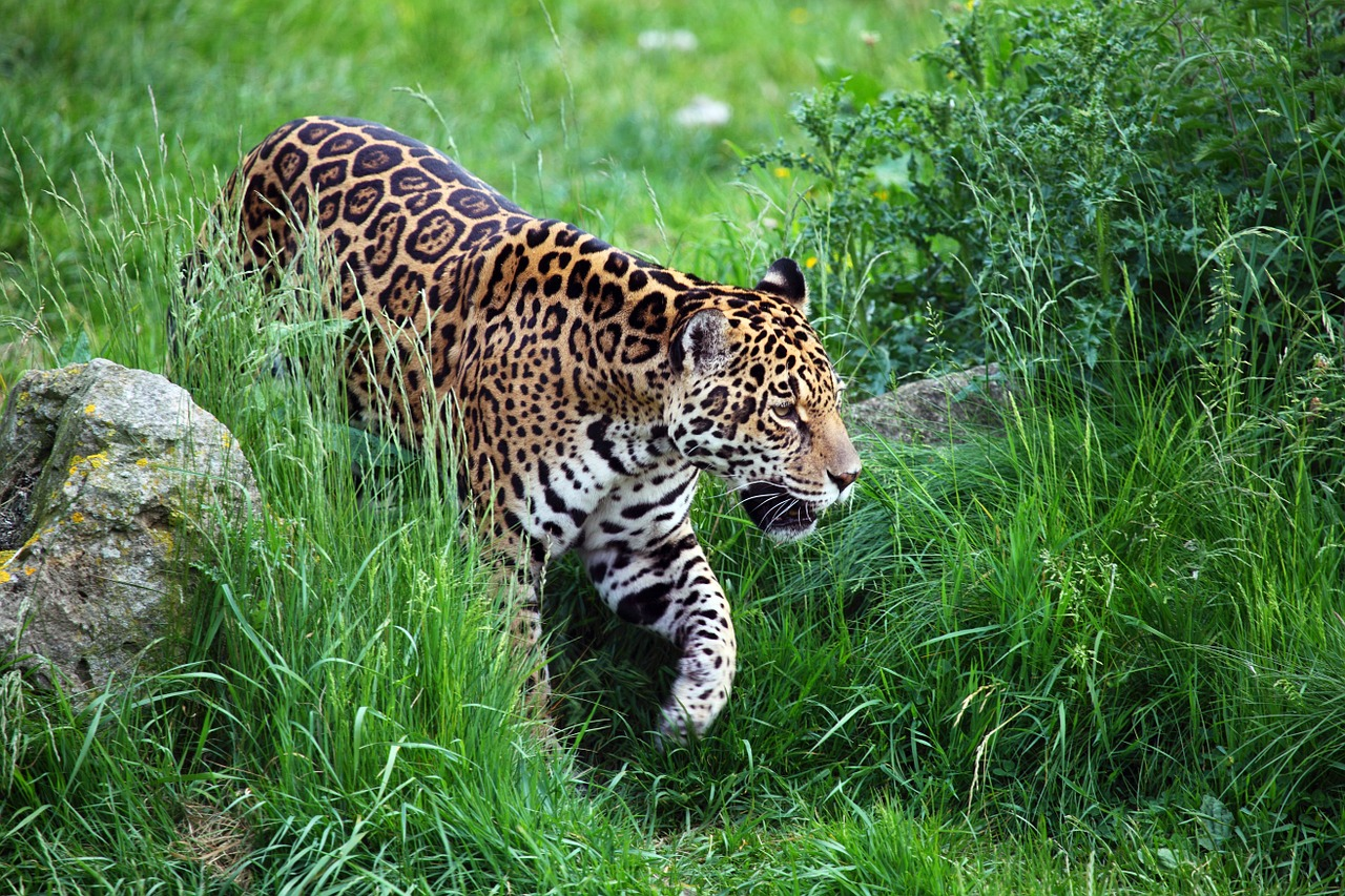 How the Proposed Wall Across Mexico Will Impact The Jaguar Population