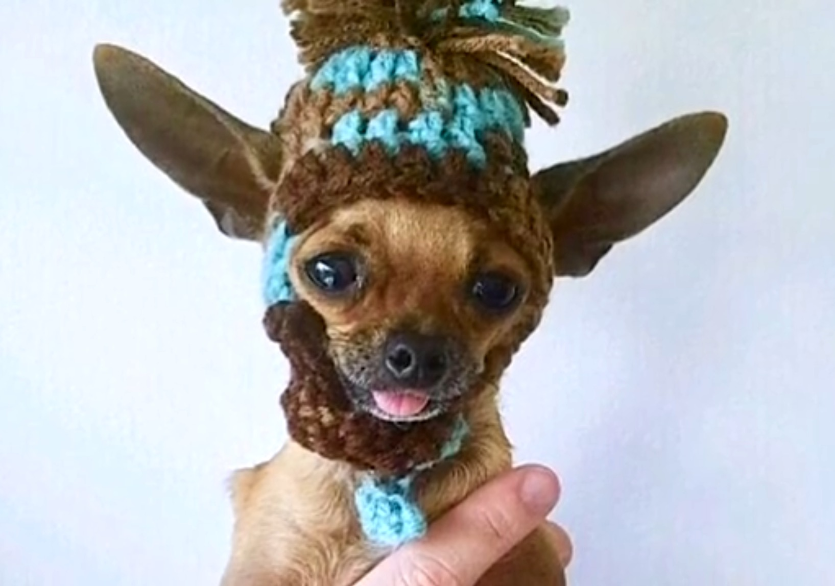 Heartbreaking Video Of Teacup Chihuahua With Neurological Disorder Shows Us Why Breeding Dogs Is Irresponsible One Green Planet