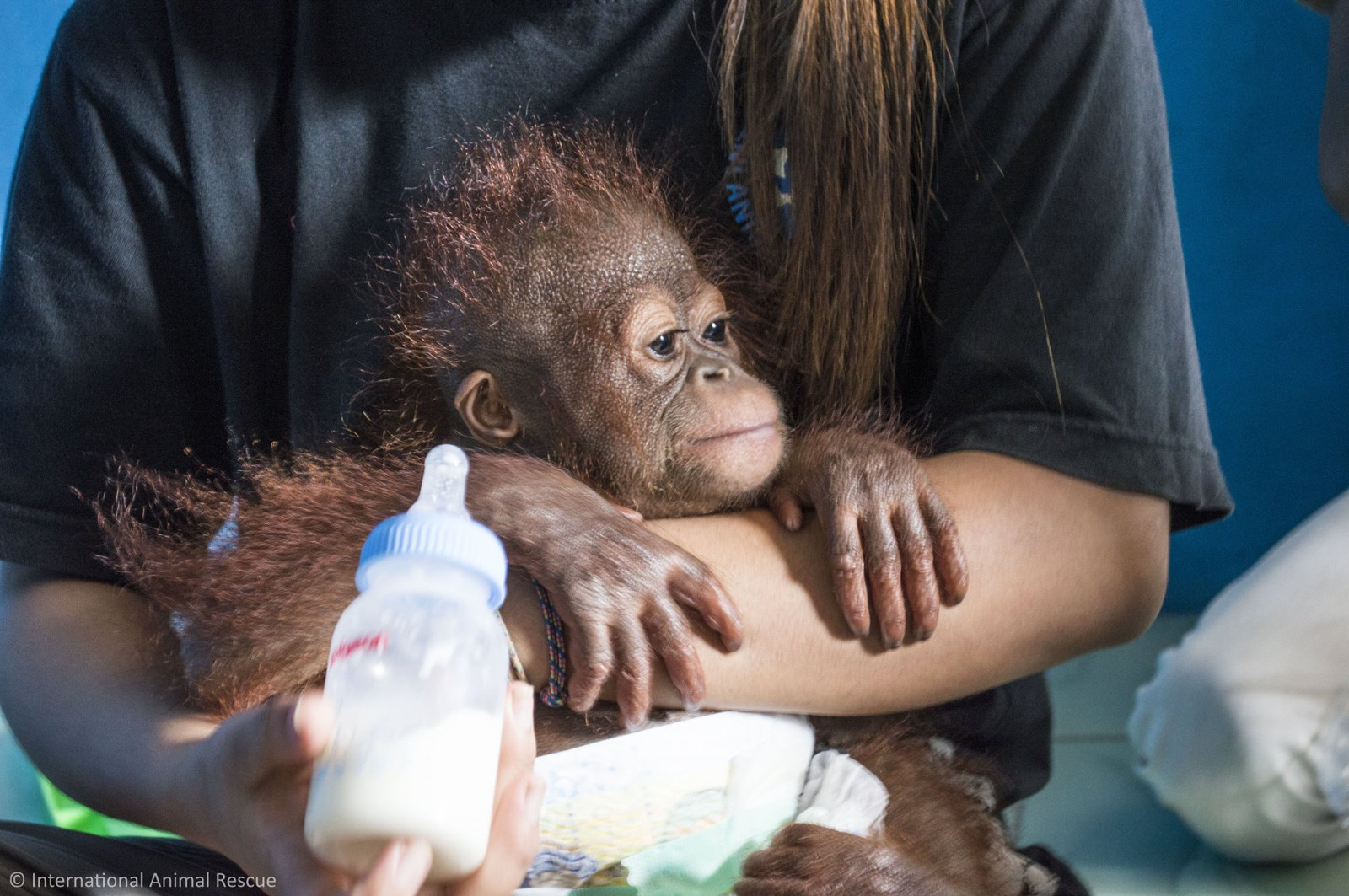What the Rescue of a Baby Orangutan Teaches Us About Our Snacks and the Illegal Pet Trade