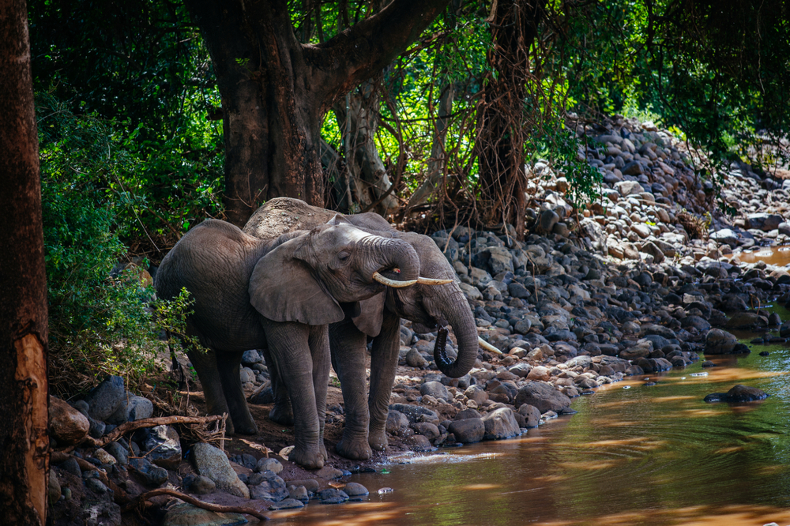 Africa's Forest Elephant Population Has Dropped 80 Percent – Here's What We Can Do to Help